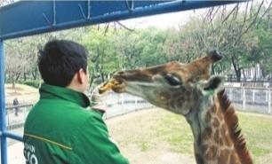 """长颈鹿偏爱胡萝卜馅""""汤圆"""" 通讯员陈立云 摄"""
