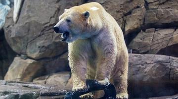 俄罗斯北极熊武汉相亲 将向游客拜年