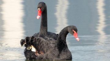 两只黑天鹅现身东湖绿道湖面