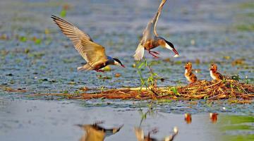 金湖湿地现别样夏景 成群鸟儿繁衍嬉戏