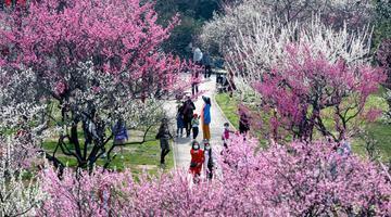 武汉东湖梅花盛开吸引游客