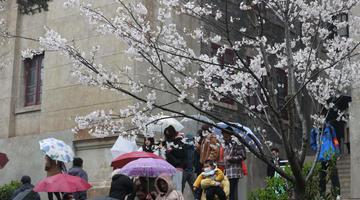 武大賞櫻預約首日:風雨難擋游客熱情