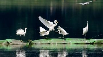 武汉沙湖公园成鸟类栖息地