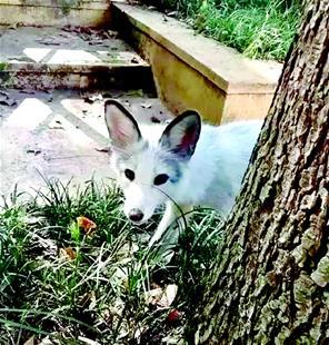 武汉大学网红小白狐被撞身亡 学生们将它安葬在珞珈山上