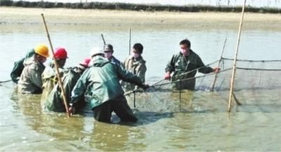 新洲宏新渔业养殖基地上午正在起网,下午鲜鱼就能送到青山 通讯员王璐 摄