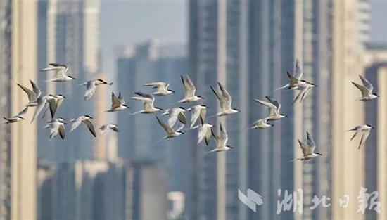武汉重点区域5月观测到鸟类231种 三种为新发现记录