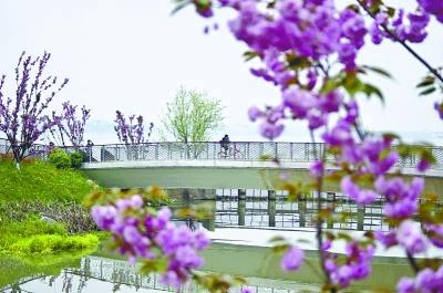 """绿道景点""""星光桥""""附近晚樱盛放 记者刘帅 摄"""