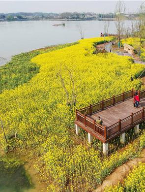 武汉东湖绿道现油菜花海