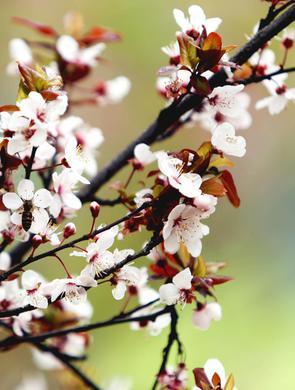 武大樱花季首日 八方游客如约而至