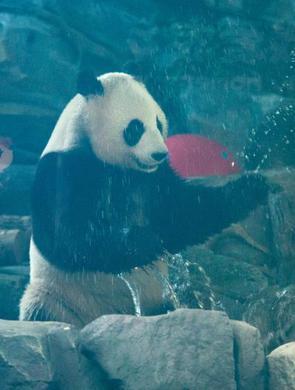 武汉大熊猫姐妹花与游客见面