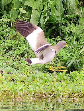 贡水河湿地公园发现灰头麦鸡