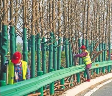 园林工作人员正在种植水杉树记者胡九思 摄