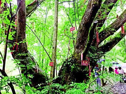 图为位于竹溪县泉溪镇的枫杨古树