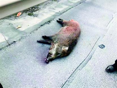 图为:被撞死的野猪