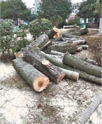 树干被一截一截锯断 居民提供