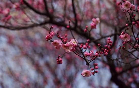 图:武汉栽物园梅花