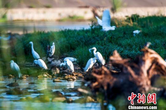 成群鸟类在远安沮河国家湿地公园栖息 远安林业局 供图 摄