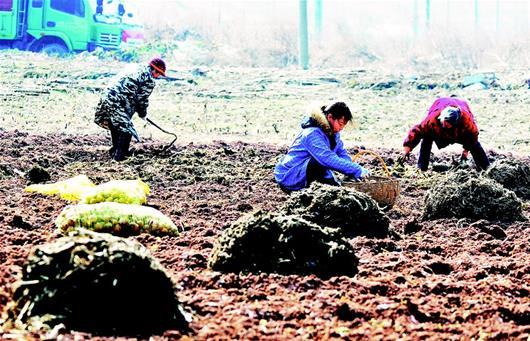 2月6日,巴东县官渡口镇火峰村农民在田间播种马铃薯