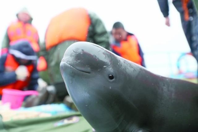 长江江豚迁地保护种群规模超100头 已成最有效措施