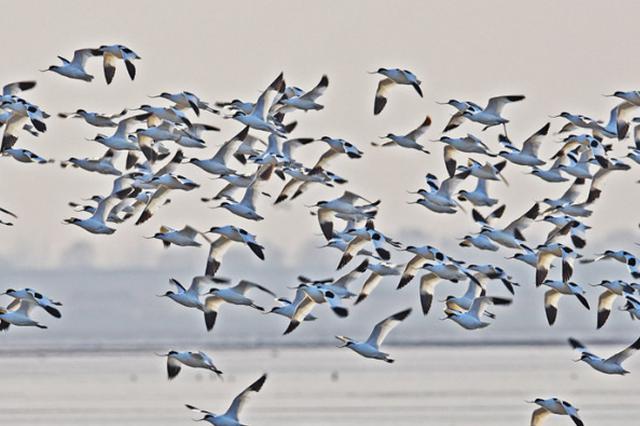 壮观!大量珍稀候鸟栖息长江宜昌中华鲟保护区越冬