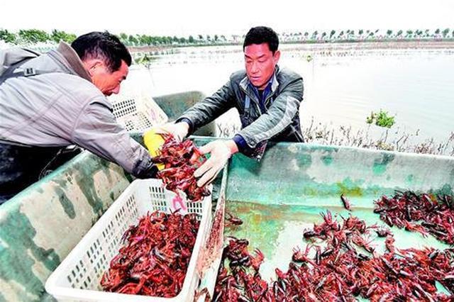湖北潜江小龙虾开捕 58元一斤比去年最高价高出10%