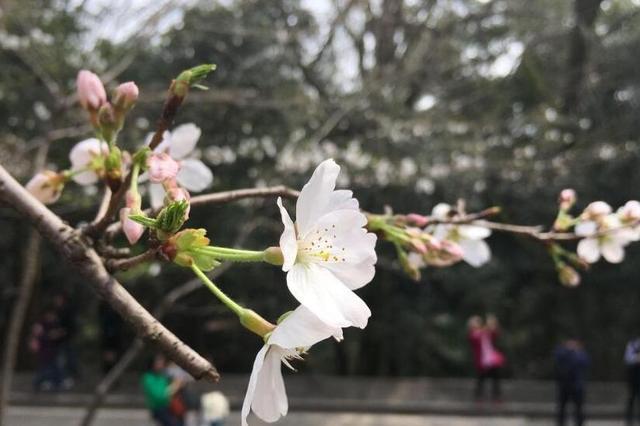 武汉大学樱花初绽 盛花期未至游人已如织