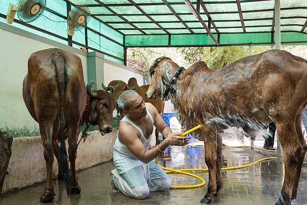 印度男子喝牛尿吃牛粪保持健康