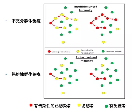 图3. 群体免疫作用机制