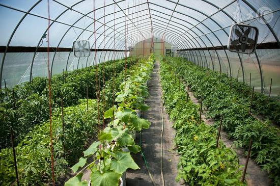大棚蔬菜所含的植物激素有害吗