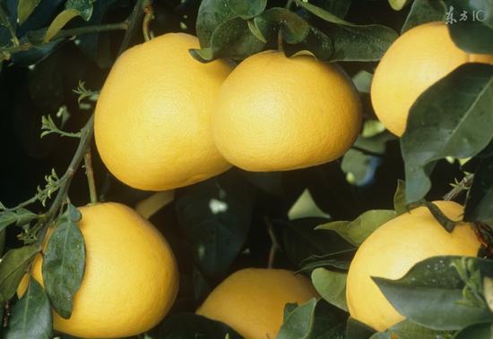 冬天吃柚子对身体五大好处