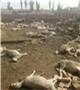 张家口农户家数十只羊疑被毒死