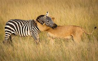 母狮偷袭斑马 却被其猛然一脚踹脸上