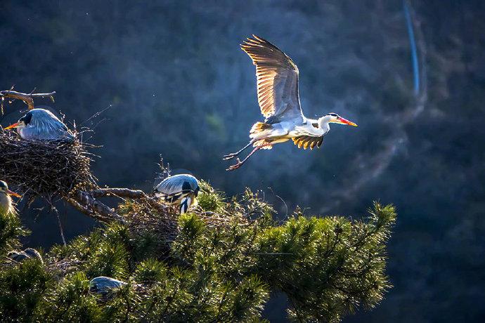 河北平山:晨光中的苍鹭