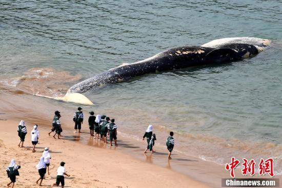 悉尼沙滩出现罕见大须鲸尸体