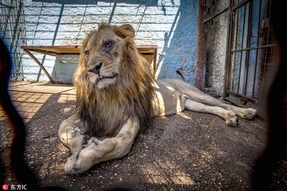 """揭秘阿爾巴尼亞""""地獄動物園"""" 獅王遲暮凄慘境遇催人落淚"""