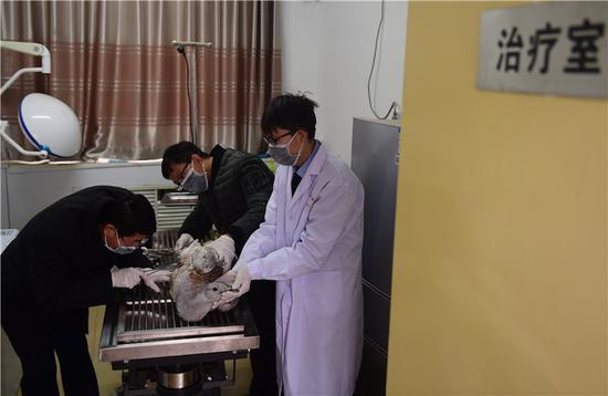1月14日,沧州野生动物救护中心的工作人员在救治国家一级保护动物大鸨。