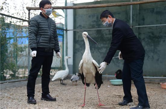 1月14日,沧州野生动物救护中心的工作人员在观察接受救治的国家一级保护动物东方白鹳。