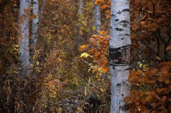 红桦伫立默然那金色的火焰慵懒的朝霞偎在白桦的身边使白桦更加皑皑耀眼