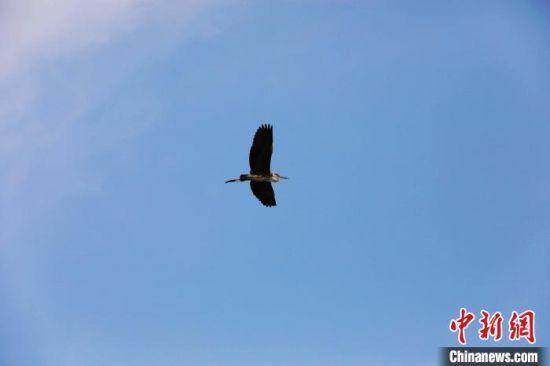 鸟儿在南宫湖湿地公园飞翔。 田威 摄
