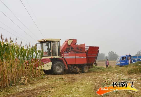 雄安新区雄县农村干部义务为村民收玉米