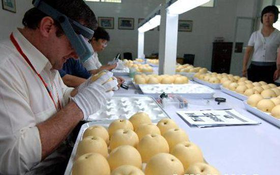 资料图:在晋州长城公司,来自澳大利亚的检疫官正在对梨果样品进行检验检疫。