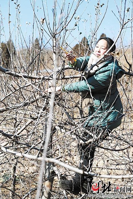 春节前,郭素萍在邢台前南峪给当地果农做苹果冬季修剪示范。郭素萍供图
