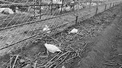 两只鸭子吃了羊吃剩下的饲料后也死了。