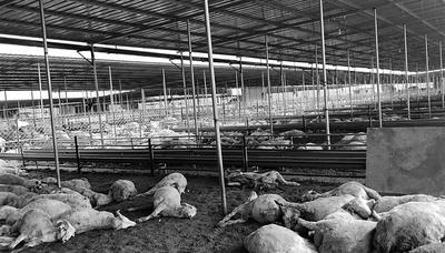 张震虎家的540只羊离奇死亡