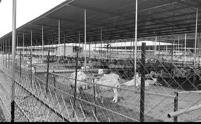 相邻的另一家羊场中羊群未发现异常。