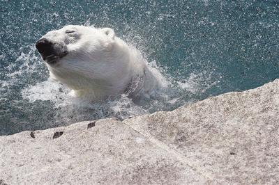 8月3日,在法国米卢斯的动物园,一只北极熊在水中纳凉.新华社/法新海豚大约多少斤图片