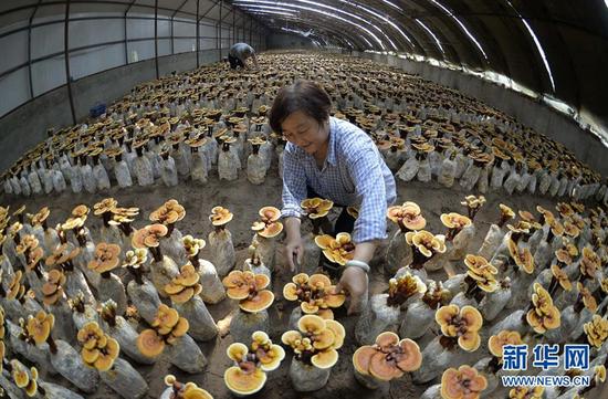 6月20日,广宗县大柏社村农民在温室大棚对灵芝进行日常管理。