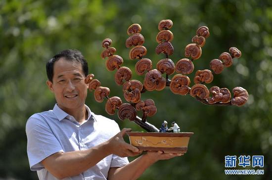 6月20日,广宗县大柏社村村民王志恒在展示制作的灵芝盆景。