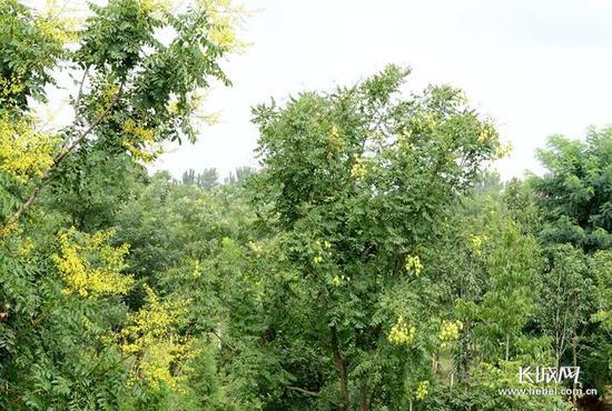 枝繁叶茂。记者 张青果 摄