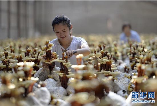 6月20日,广宗县大柏社村农民在温室大棚修剪灵芝。
